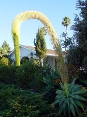 Flower stalk, after