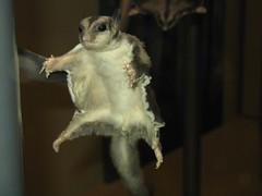 Flying Squirrel, Smithsonian Museum of Natural...