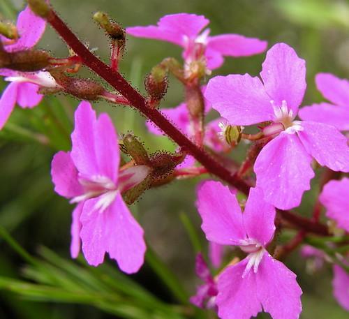 Stylidium productum (trigger plant)