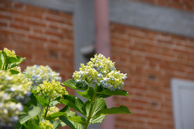 フランス積のレンガと紫陽花