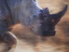 A rhino charging through Brum...