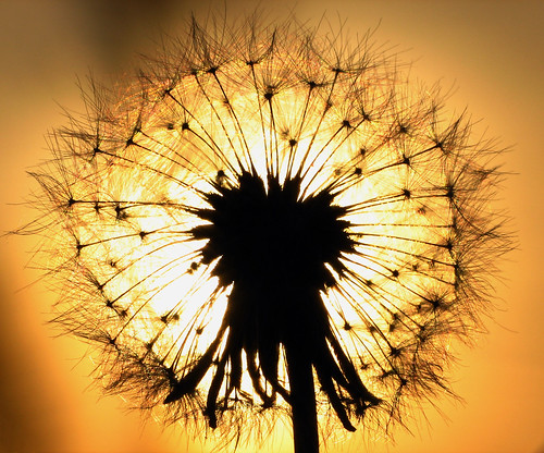 Dandelion Eclipse by Roger Smith