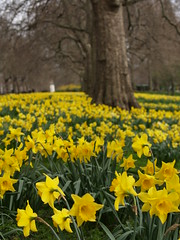 Daffodills in St. James', close