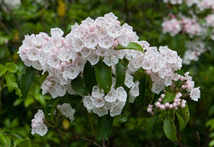 "IMG_9628: Mountain Laurel • <a style=""font-size:0.8em;"" href=""http://www.flickr.com/photos/54494252@N00/177645320/"" target=""_blank"">View on Flickr</a>"