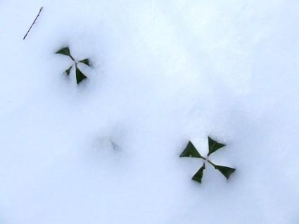 laurel crosses