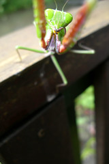 the attack of the praying mantis