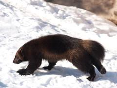 Wolverine in Skansen