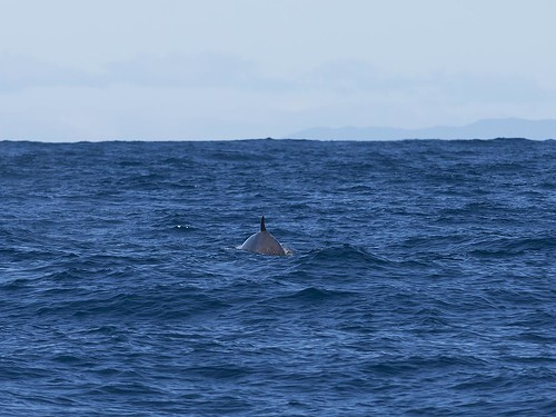 """Shepherd's Beaked Whale - Offshore Eaglehawk Neck - Tasmania • <a style=""""font-size:0.8em;"""" href=""""http://www.flickr.com/photos/95790921@N07/31814035324/"""" target=""""_blank"""">View on Flickr</a>"""