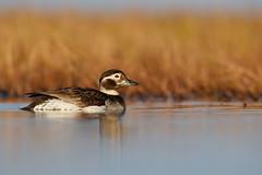 Long-tailed Duck | alfågel | Clangula hyemalis
