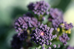 Purple Sprouting Broccoli from: http://flickr.com/photos/ndrwfgg/133472799/