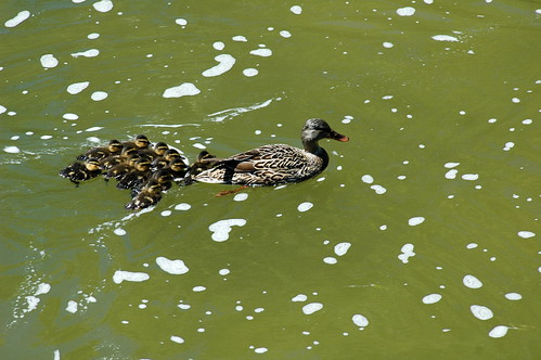 Mama duck leading ducklings up White Rock Lake creek
