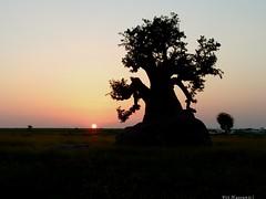 -Baobab-