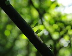 Infatigables fourmis du Costa Rica