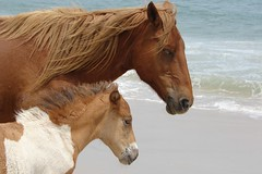 Horse and colt at Assateague by Ami 8