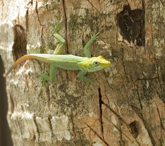 """CRW_1663: Lizard on Tree • <a style=""""font-size:0.8em;"""" href=""""http://www.flickr.com/photos/54494252@N00/10330013/"""" target=""""_blank"""">View on Flickr</a>"""