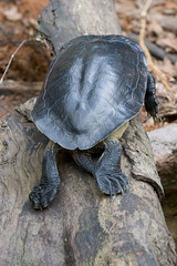 """IMG_4916: Turtle from Behind • <a style=""""font-size:0.8em;"""" href=""""http://www.flickr.com/photos/54494252@N00/8707522/"""" target=""""_blank"""">View on Flickr</a>"""