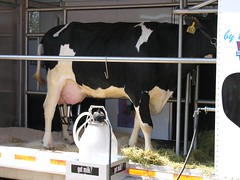 Cow-Milking Demonstration