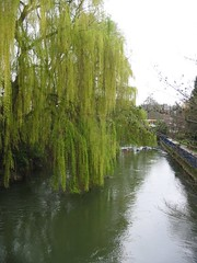 weeping willows over canal