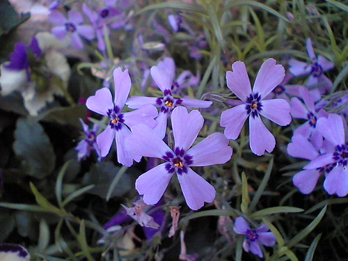 Phlox douglasii by Heritage in Japan.