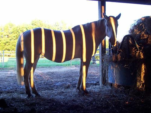 Horse Masquerading as a Zebra
