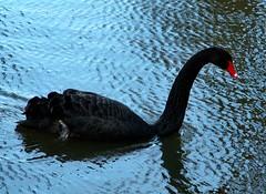 Black Swan_Z12493