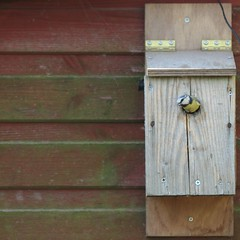 Blue tit exiting box