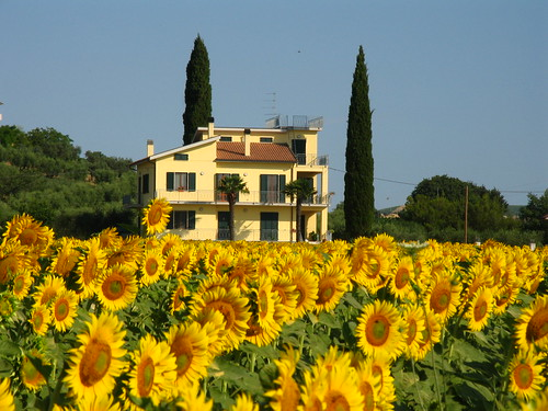 Campi di girasoli, Sunflowerfields 027