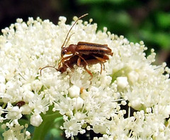 longhorns mating on wild hydrangea