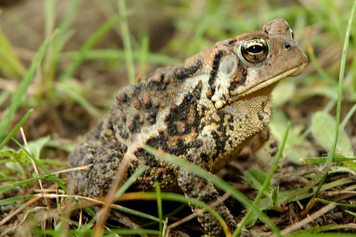 An American Toad