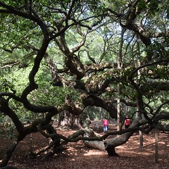 Four hundred year old Angel Oak. There was a crowd of people but it felt like no one was talking. #TheWorldWalk #nofilter #tree #travel #twwphotos