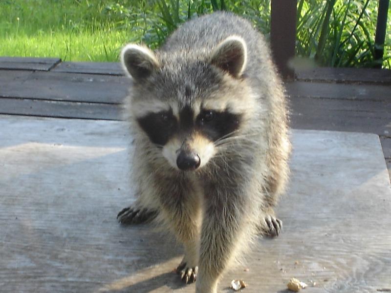 Raccoon in Quebec
