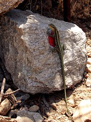 Ikaria 265 (isl_gr (away on an odyssey)) Tags: hiking tail beautyconcealed ikaria icaria  aegean trails lizard greece signage balisage hikingikaria     greentailedlizard