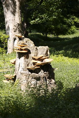 Tree stump with bracket fungi