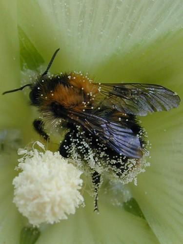 Dscn1508-bee-pollen_crop_w800
