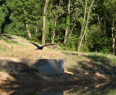"CRW_3204: Gliding Bird • <a style=""font-size:0.8em;"" href=""http://www.flickr.com/photos/54494252@N00/9841473/"" target=""_blank"">View on Flickr</a>"