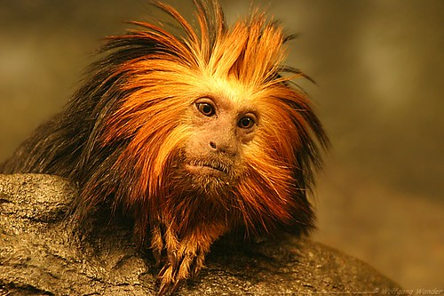 Tamarin Lion Monkey