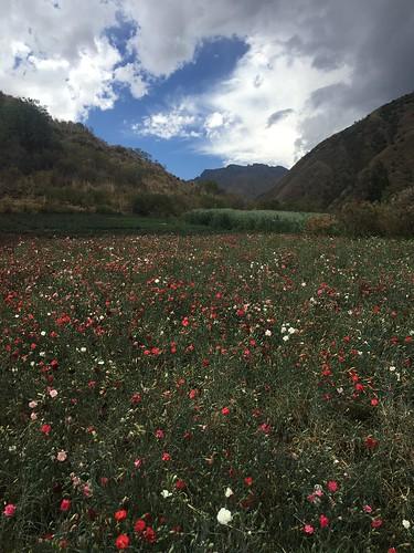 Plus loin, la montagne s'élève, et l'on trouve des champs de fleurs