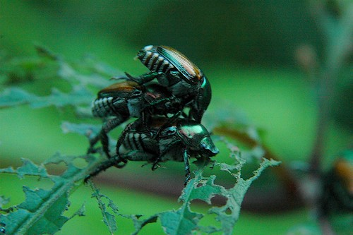 Mating Beetles Contest