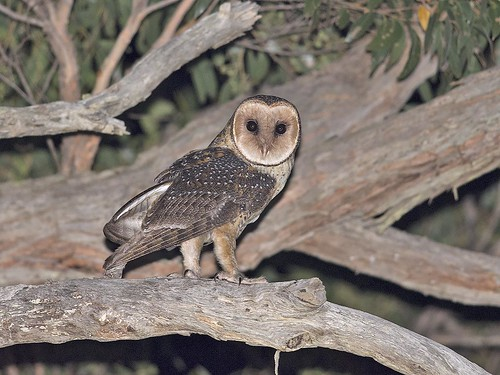 """Australian Masked Owl - Cape Conran area, Vic • <a style=""""font-size:0.8em;"""" href=""""http://www.flickr.com/photos/95790921@N07/31996015321/"""" target=""""_blank"""">View on Flickr</a>"""