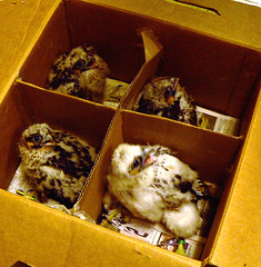 Chicks in the Box!