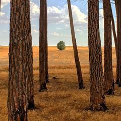 Tree #tree #arbol #pinos #spain #españa #cuenca #laspedroñeras #lamancha #eltaray
