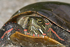 Painted Turtle by Jeremy Martin