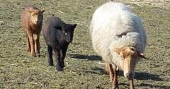 """Das Schaf. Die Schafe. Drei Schafe auf einer Weide (man spricht auch von Weideland). • <a style=""""font-size:0.8em;"""" href=""""http://www.flickr.com/photos/42554185@N00/33538316605/"""" target=""""_blank"""">View on Flickr</a>"""
