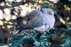 Morning Dove all puffed up on a cold winters day (-20 Celsius).