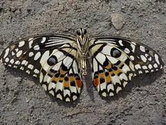 Papillon trouvé par terre