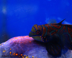 sea guppy