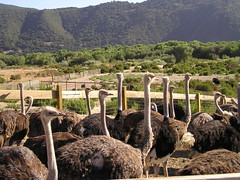 Ostriches on the Ostrich Farm