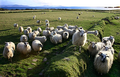The Pied Piper Of Sheep