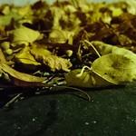 """Yellow leaves. #awesomepicture #nofilter #autumn #höst #nahöst #instamoment #instastockholm #shockholm #löv #z5compact #evening <a style=""""margin-left:10px; font-size:0.8em;"""" href=""""http://www.flickr.com/photos/131645797@N05/22898981376/"""" target=""""_blank"""">@flickr</a>"""