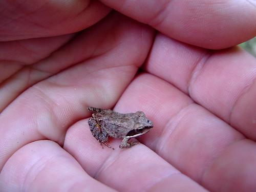 Baby woodfrog